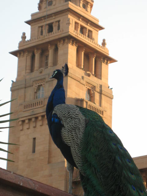 A peacock keeps watch at the Palace
