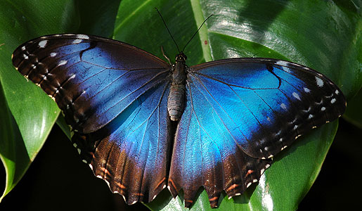 A bright blue morpho butterfly found in the Amazon