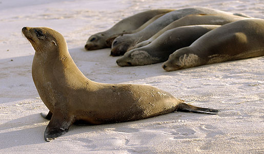 Sea lions relaxing on the beach
