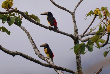 Collared Araçari along Lake Arenal (Photo by R. Szaro)