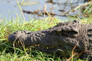 Crocodile - Photo by Hillary Young.