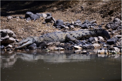 American Crocodile relaxing along the banks of the Tempisque River (Photo by R. Szaro).
