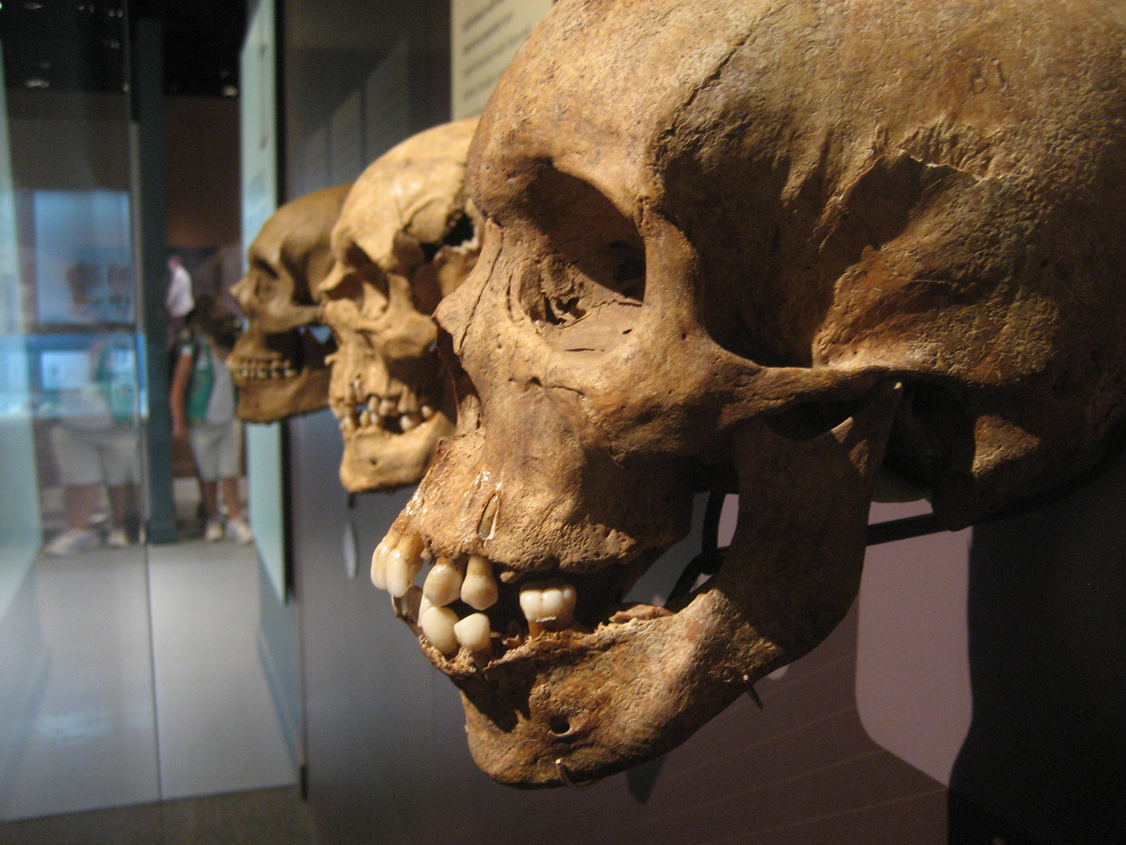 Skulls on display at the National Museum of Natural History. Photo: Betsy Brand