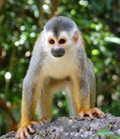 Squirrel Monkey. Photo: Kate Desvenain