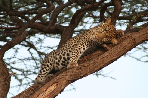 A leopard takes an afternoon rest. Photo: Vanessa Siemens, Smithsonian Magazine Photo Contest