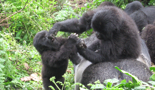 A couple of young Silverback gorillas playing together